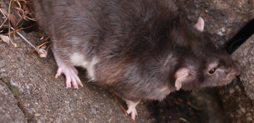 how to get rid of rats outside your house