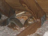 How To Get Squirrels Out Of Your Attic House Or Walls