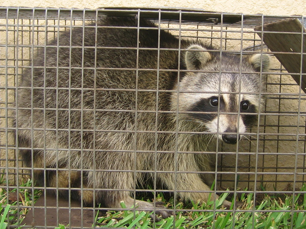 Wildlife Trapping Photographs Animals In Traps Pictures Pics