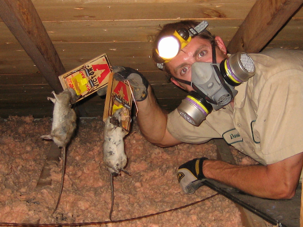 Mouse In Attic How To Get Mice Out Of The Attic Or Ceiling