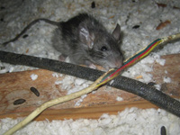 Rats In The Attic How To Get Rid Of Them