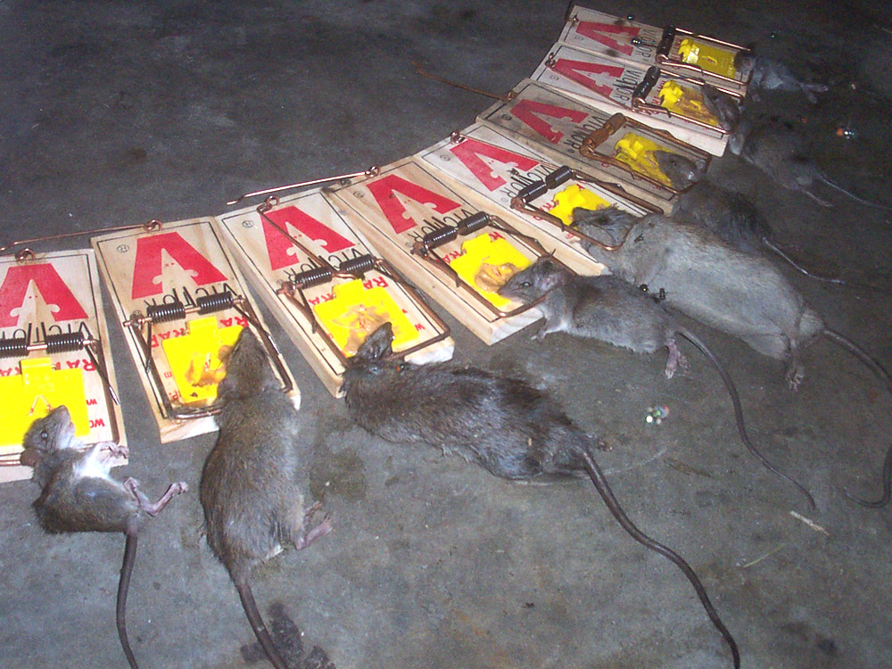 Rat Photos Gallery Of Pictures Amp Images