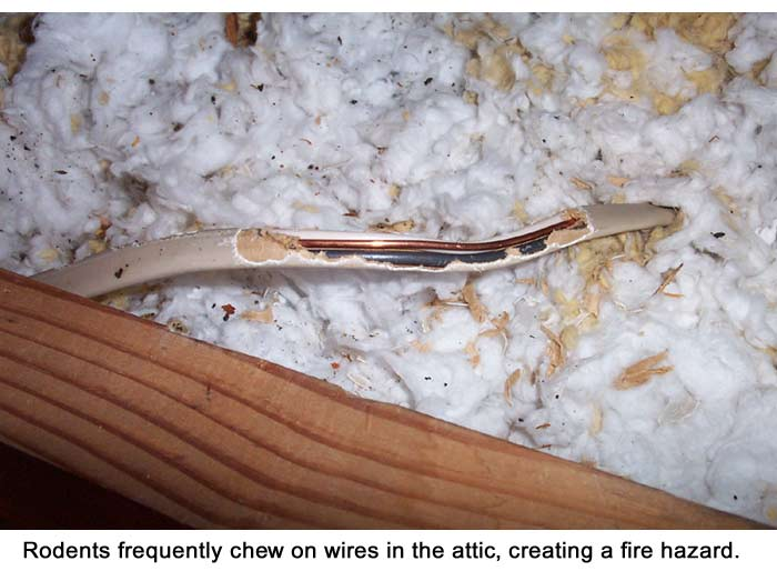 Rodents In The Attic They Poop And Chew On Wires